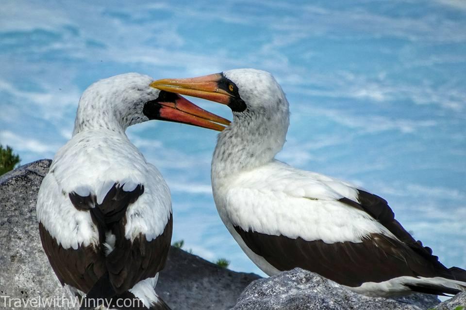Nazca Booby 橙嘴藍臉鰹鳥