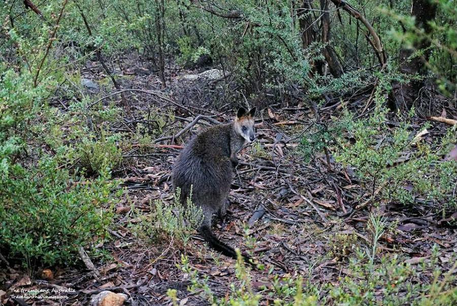 澳洲 袋鼠