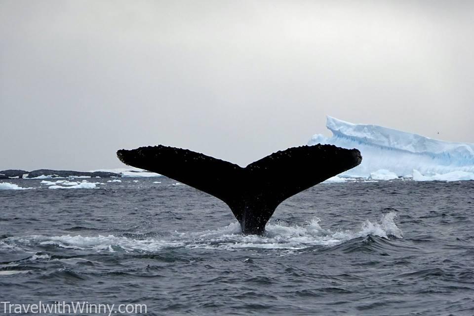 humpback whale 座頭鯨