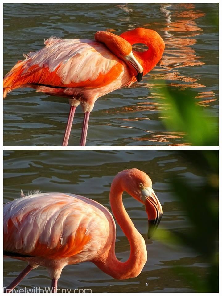野生 Galapagos Flamingo 火烈鳥