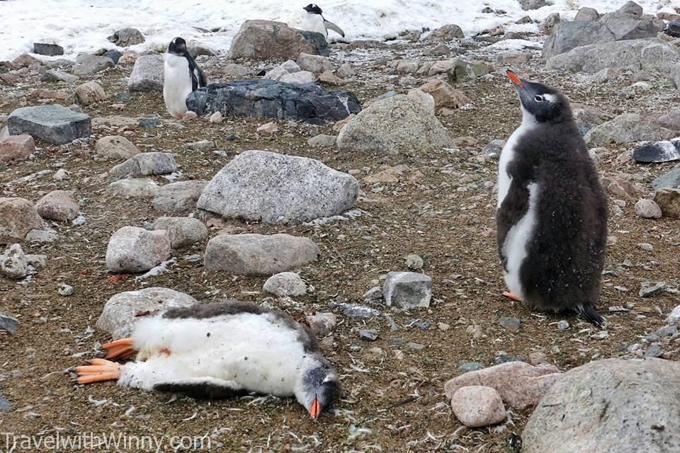 每幾隻健康的年輕企鵝, 就有些死掉的企鵝寶寶. 形成生與死的強烈對比.