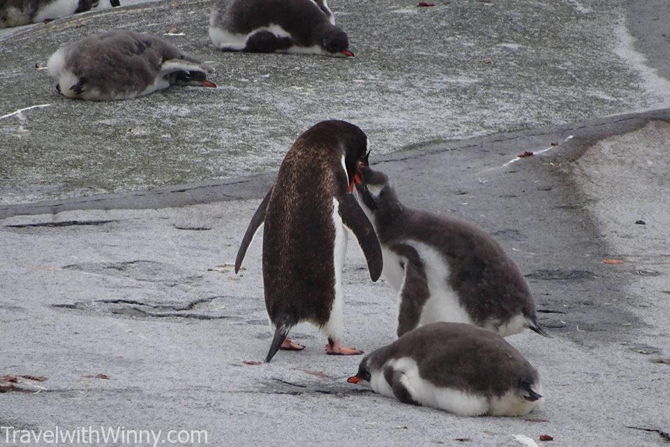 Baby Gentoo Penguin 巴布亞企鵝 企鵝寶寶