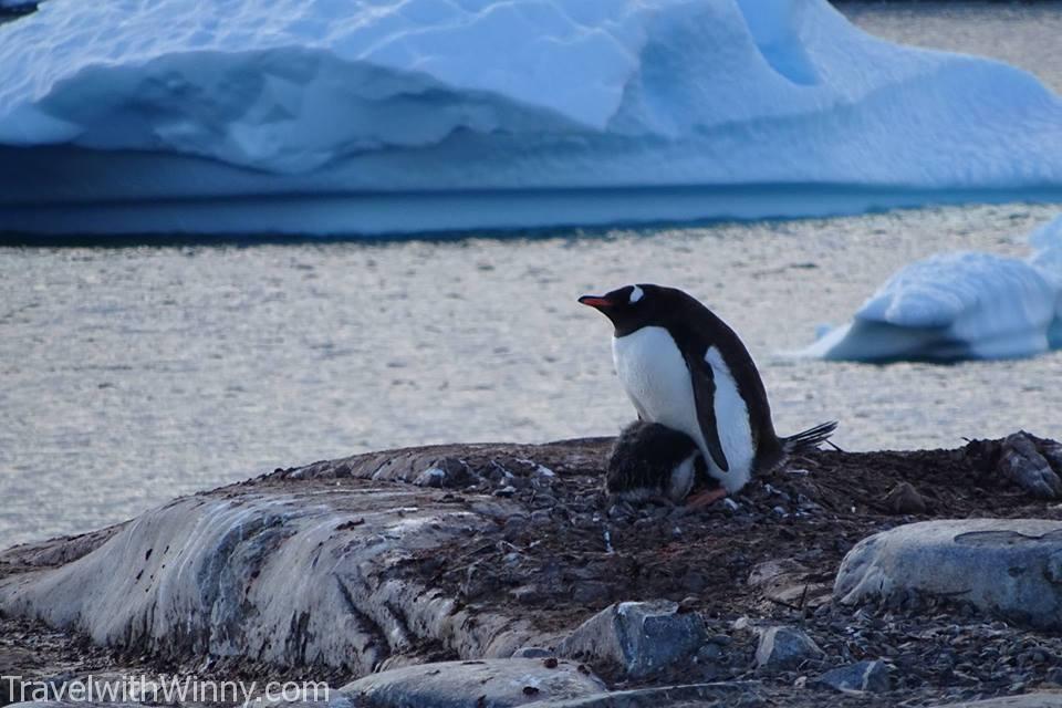 Gentoo Penguin 巴布亞企鵝