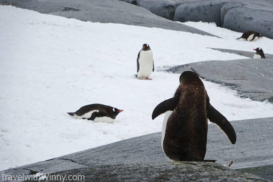 Baby Gentoo Penguin 巴布亞企鵝 企鵝