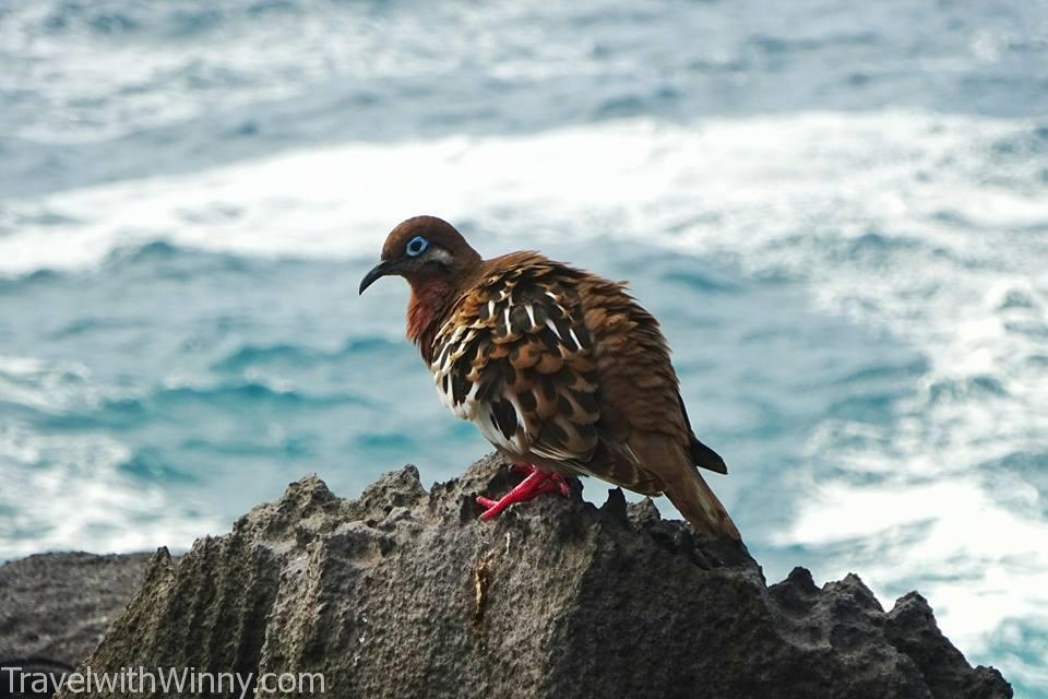 galapagos dove 加島哀鴿