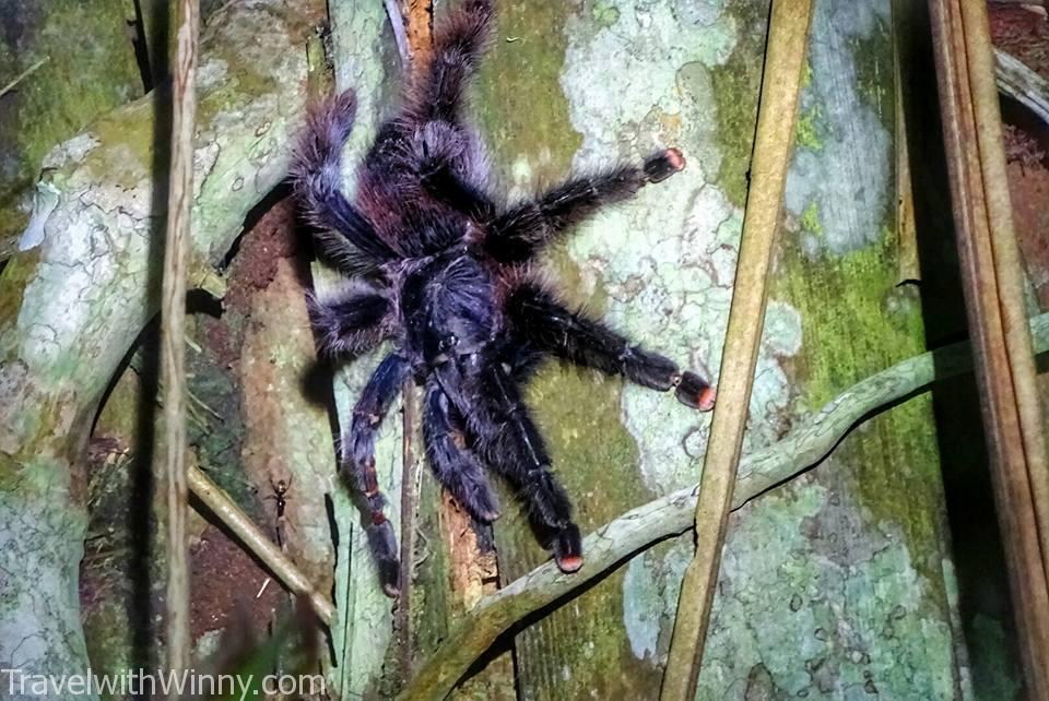 tarantula 捕鳥蛛