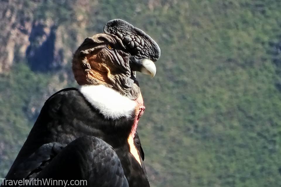 condor 禿鷹 安地斯神鷹