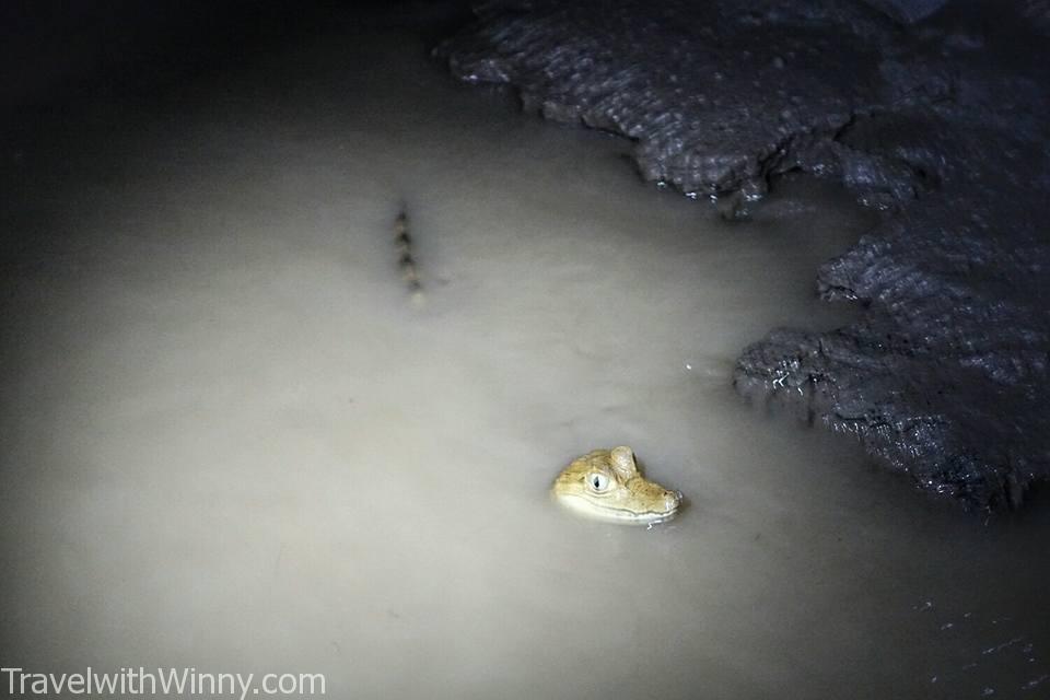 caimen 鱷魚寶寶