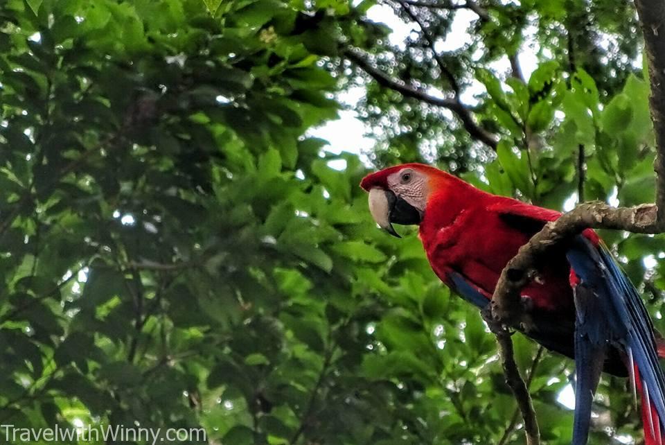 Macaw 金剛鸚鵡