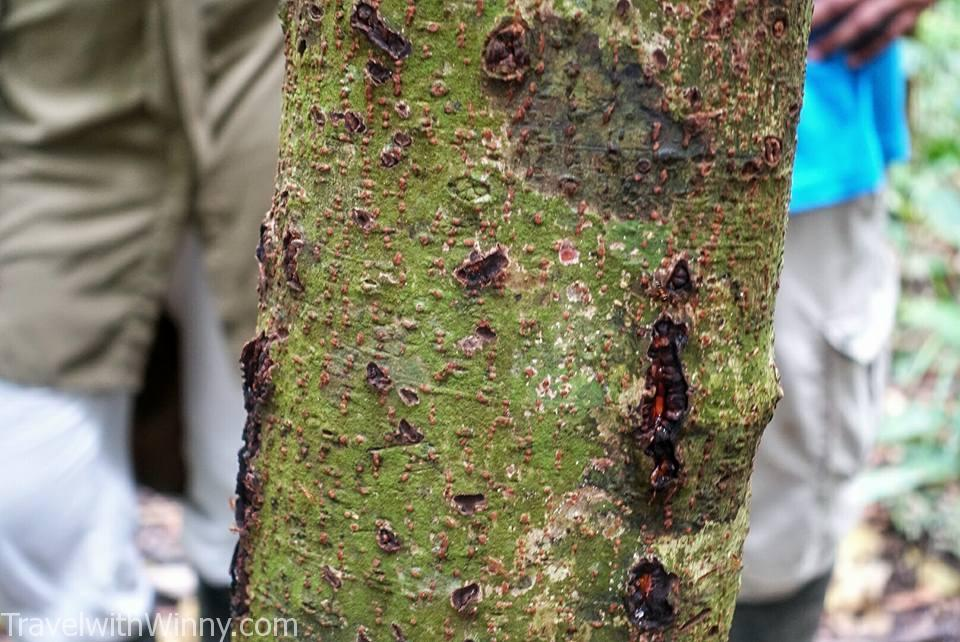 fire ant 火蟻