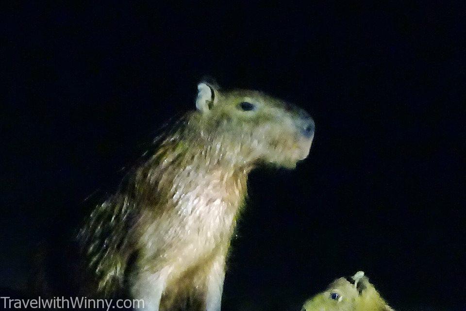 capybara 水豚