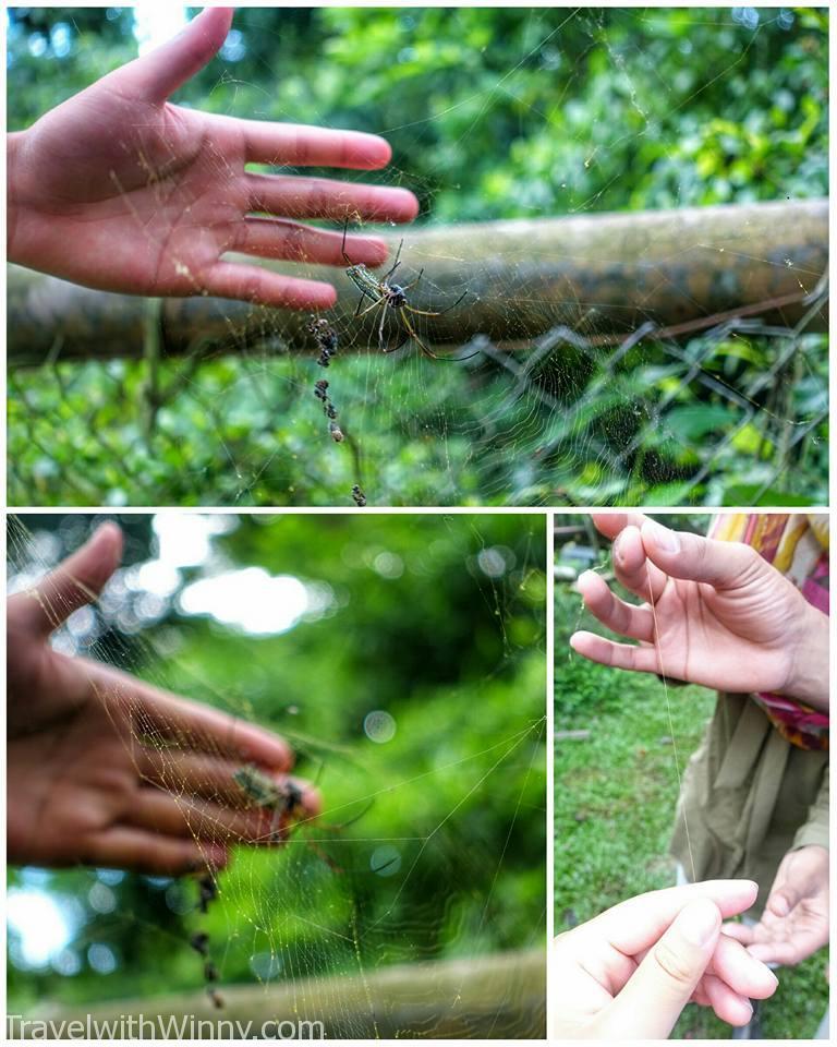 Golden silk orb-weaver 大木林蜘蛛
