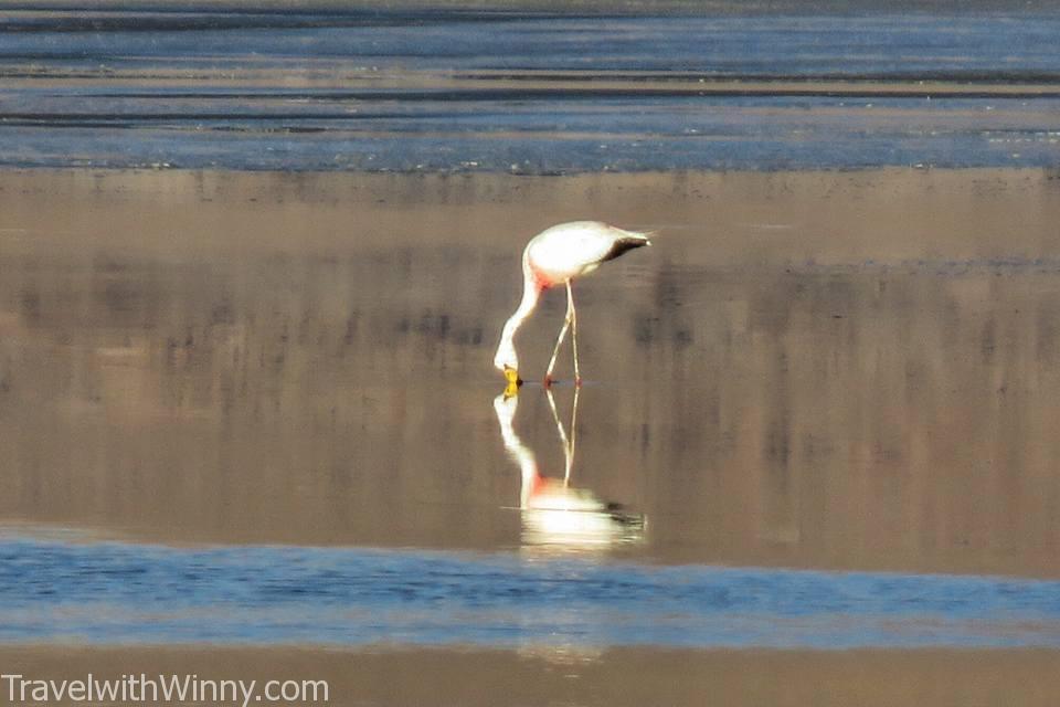 火烈鳥 flamingo