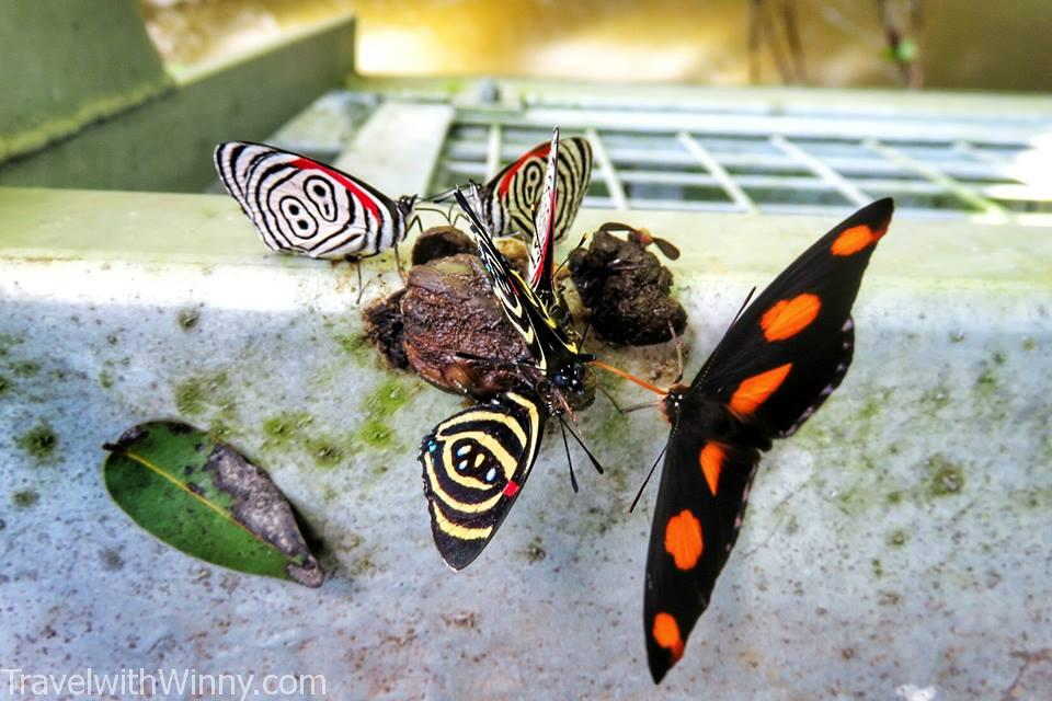 野生蝴蝶 beautiful butterfly, Iguazu falls experience