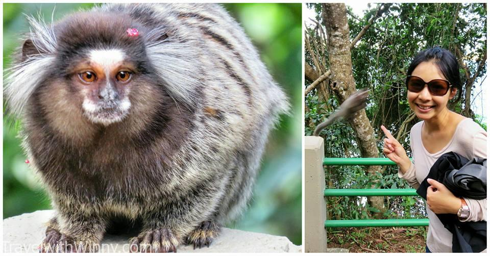 長尾獼猴 marmoset