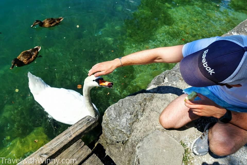 pet swan 天鵝 寵物