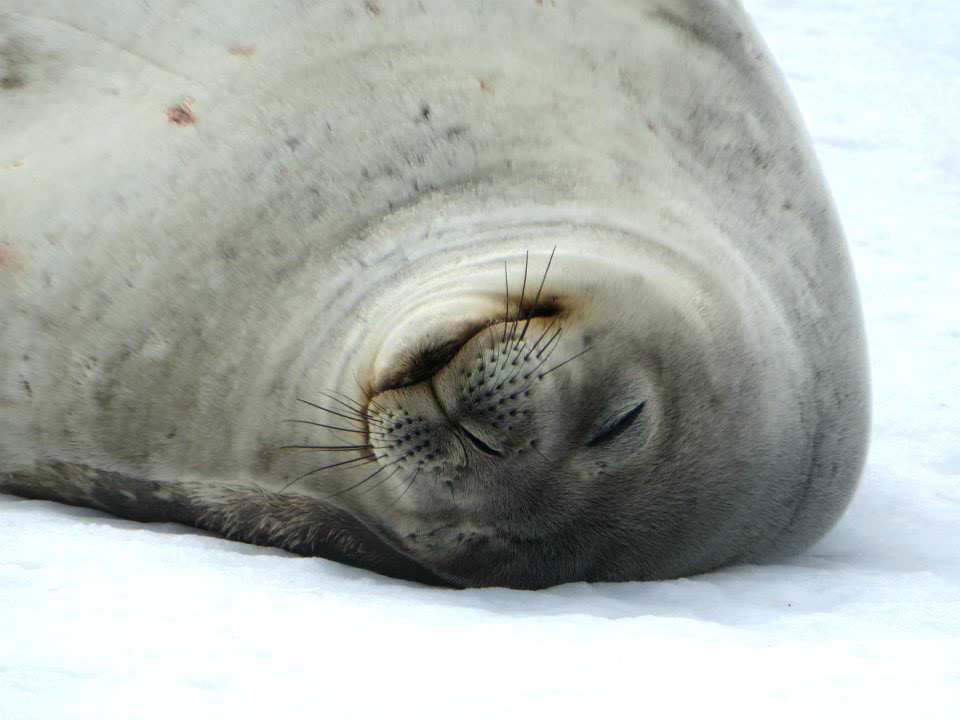 Antarctica wild life seal 南極 海獅