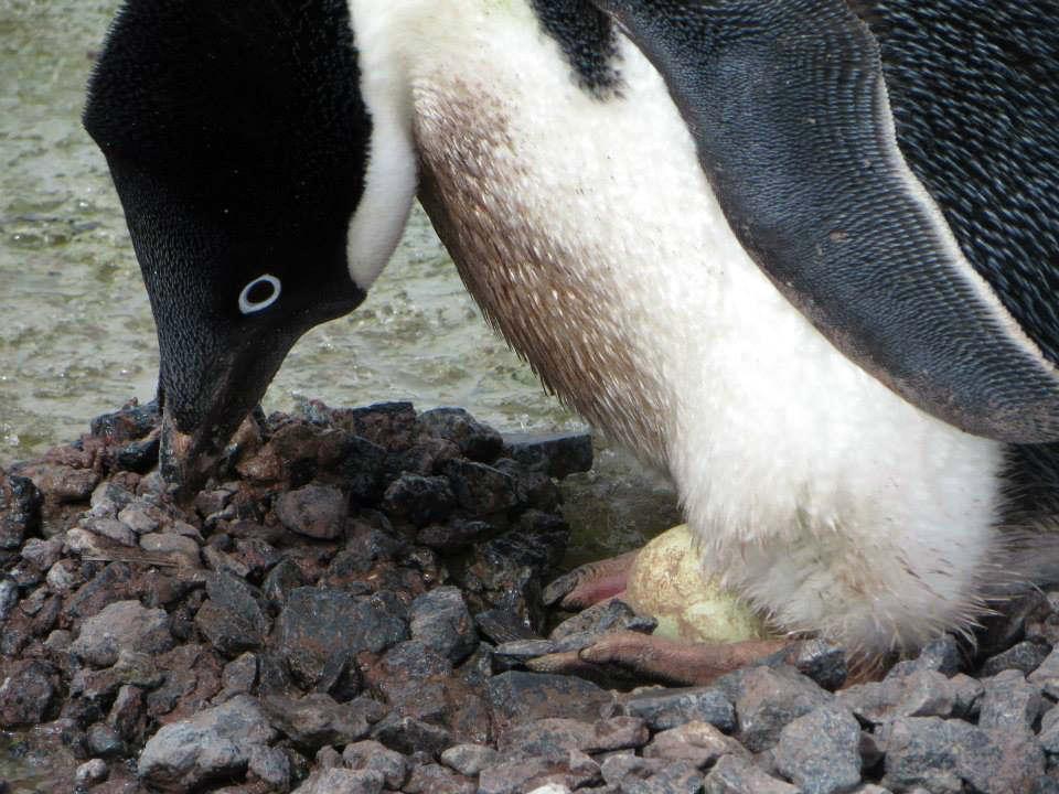 penguin hatching egg 企鵝 孵蛋