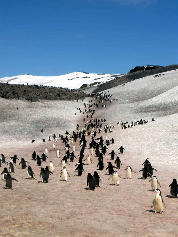 penguin parade marching 企鵝 遊行