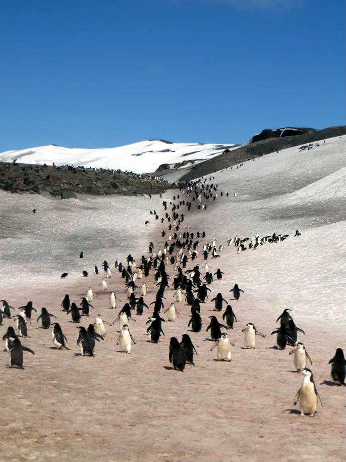 penguin parade marching 企鵝 遊行