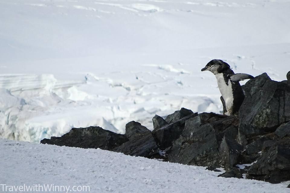 Chinstrap penguins 頰帶企鵝