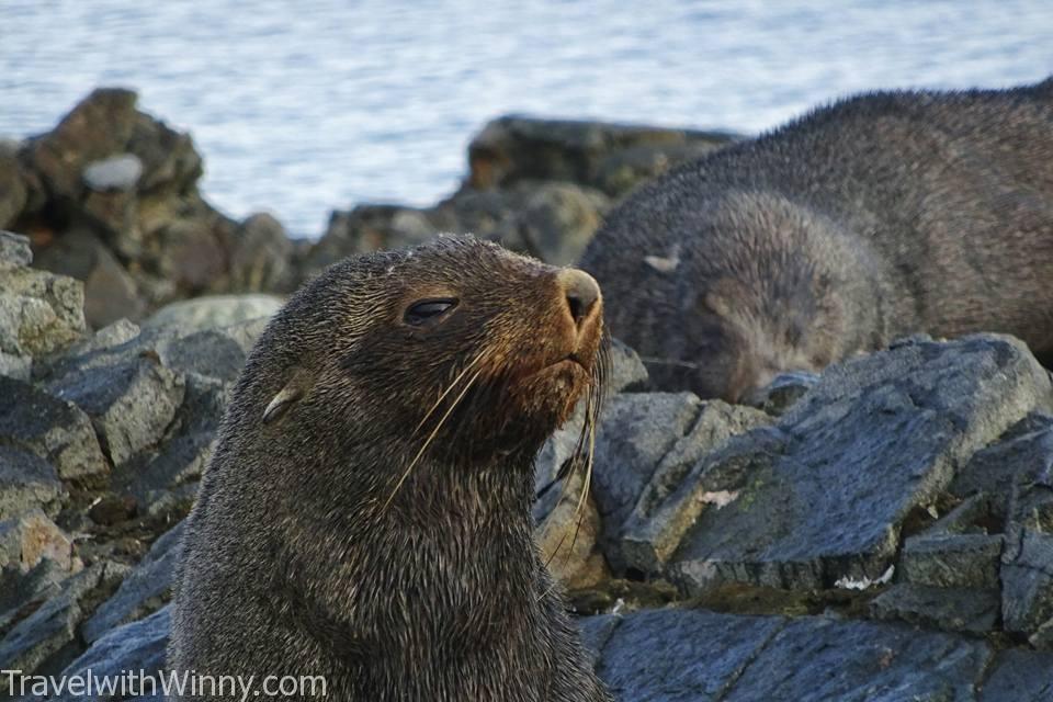 海豹 fur seal