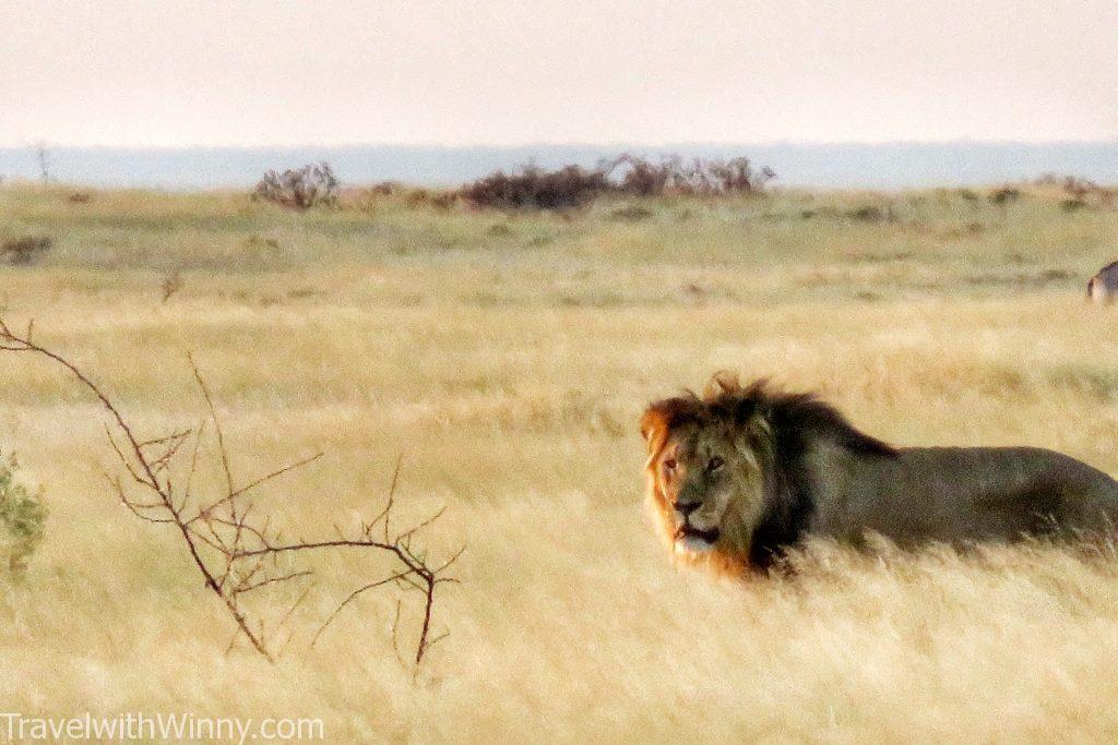 namibia etosha lion 奈米比亞 埃托沙國家公園
