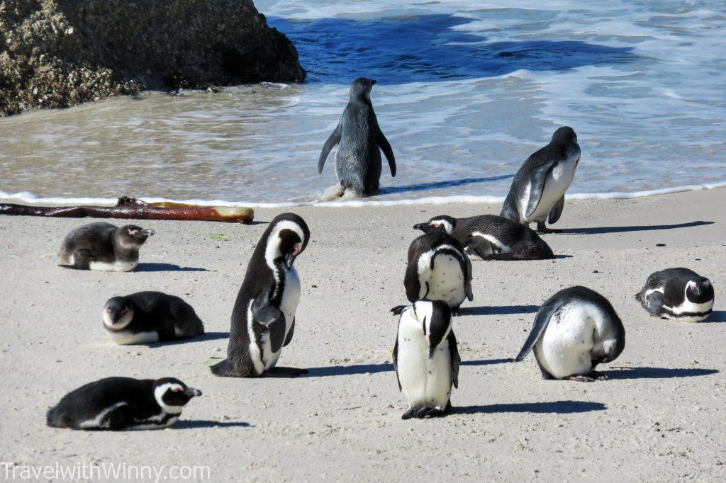 boulder's beach africa penguin 非洲 企鵝