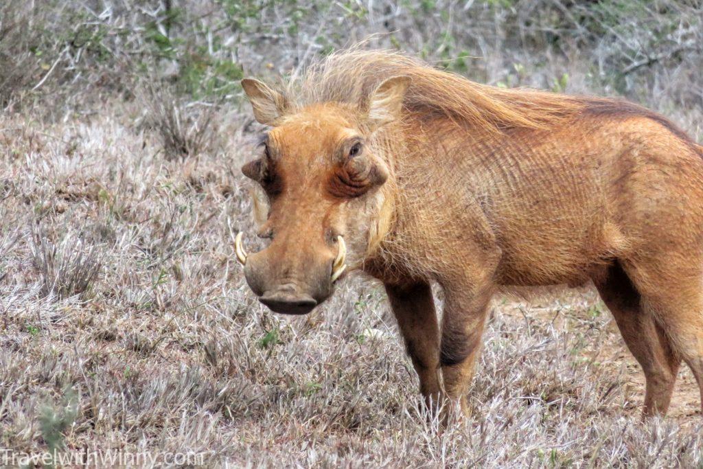 warthog 疣豬 彭彭