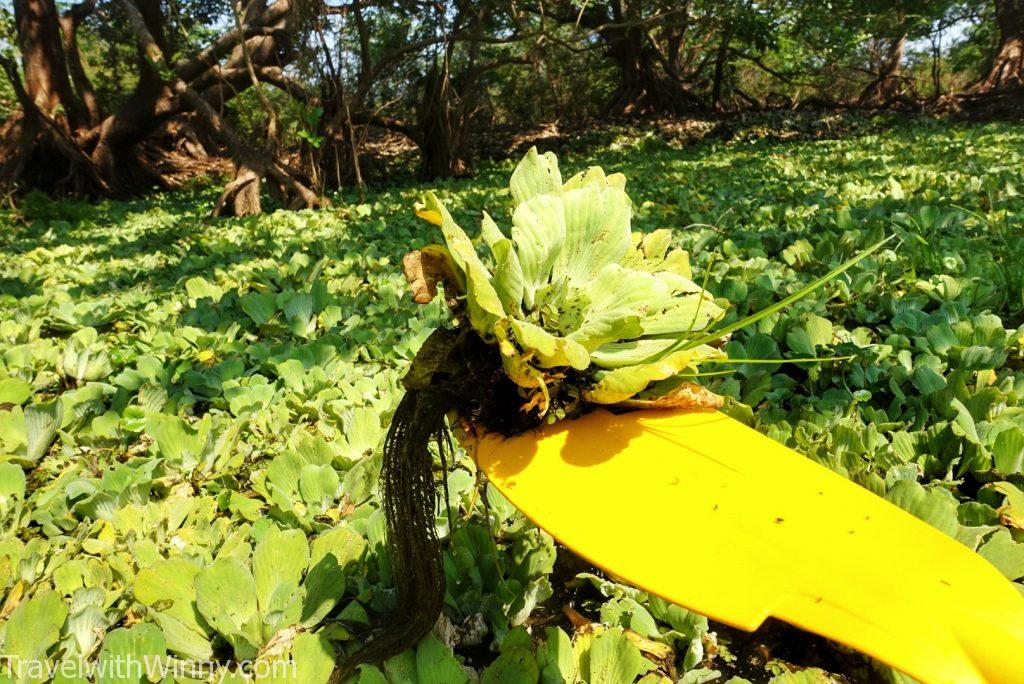 water cabbage 大薸 水浮蓮