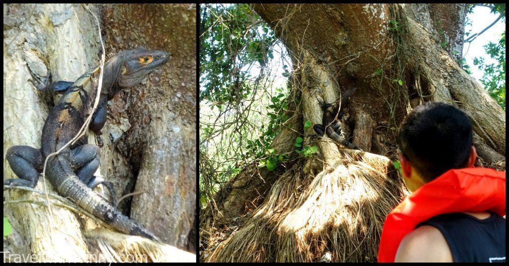 iguana 陸蜥蜴