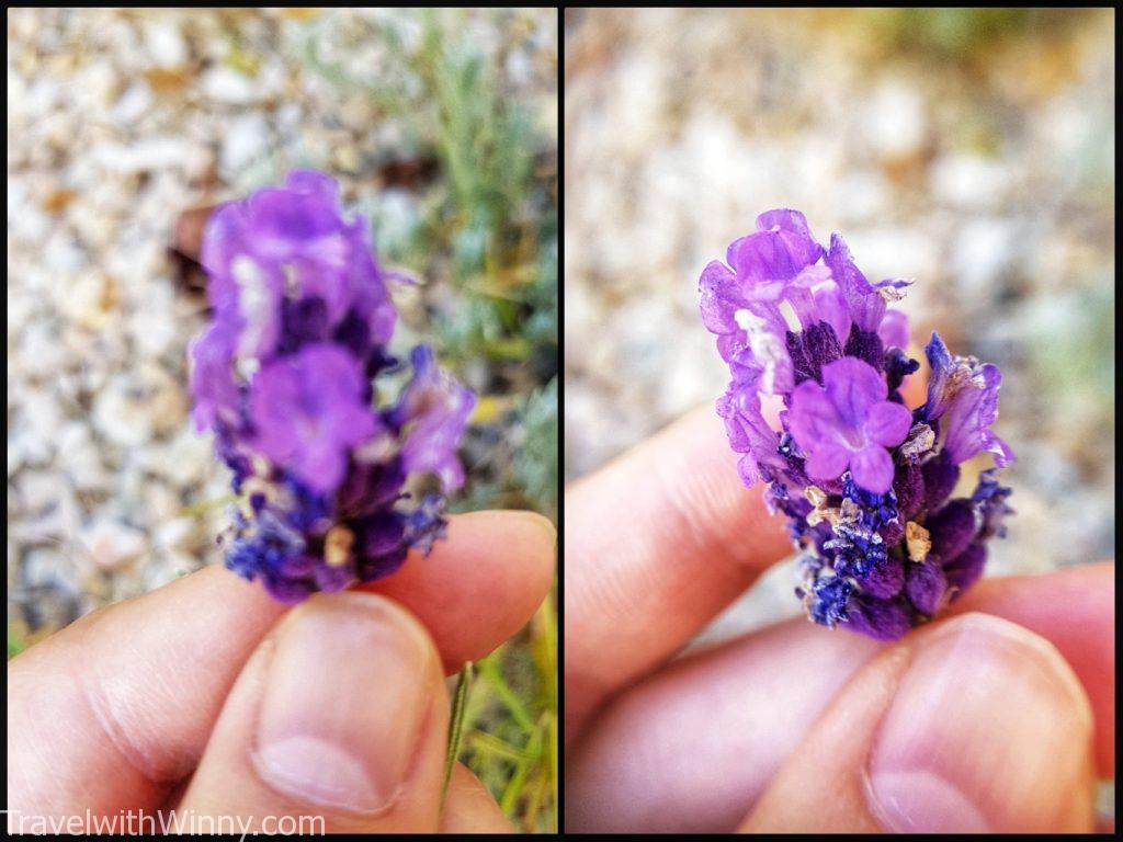 lavender 薰衣草
