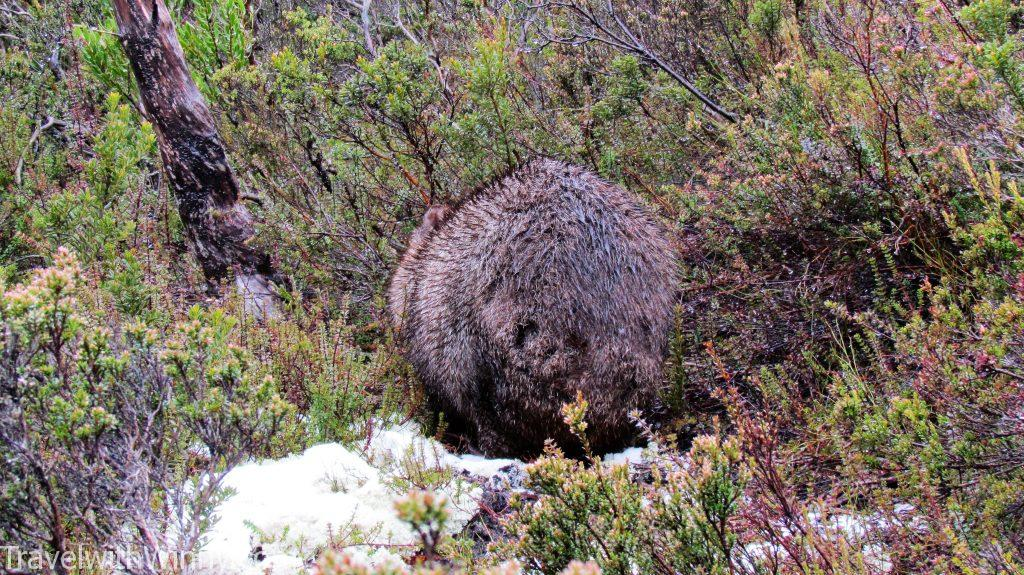 wombat cradle mountain
