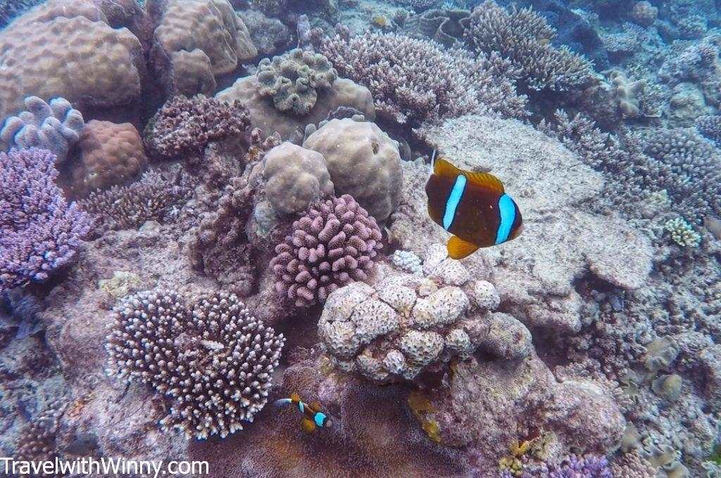 clown fish 小丑魚