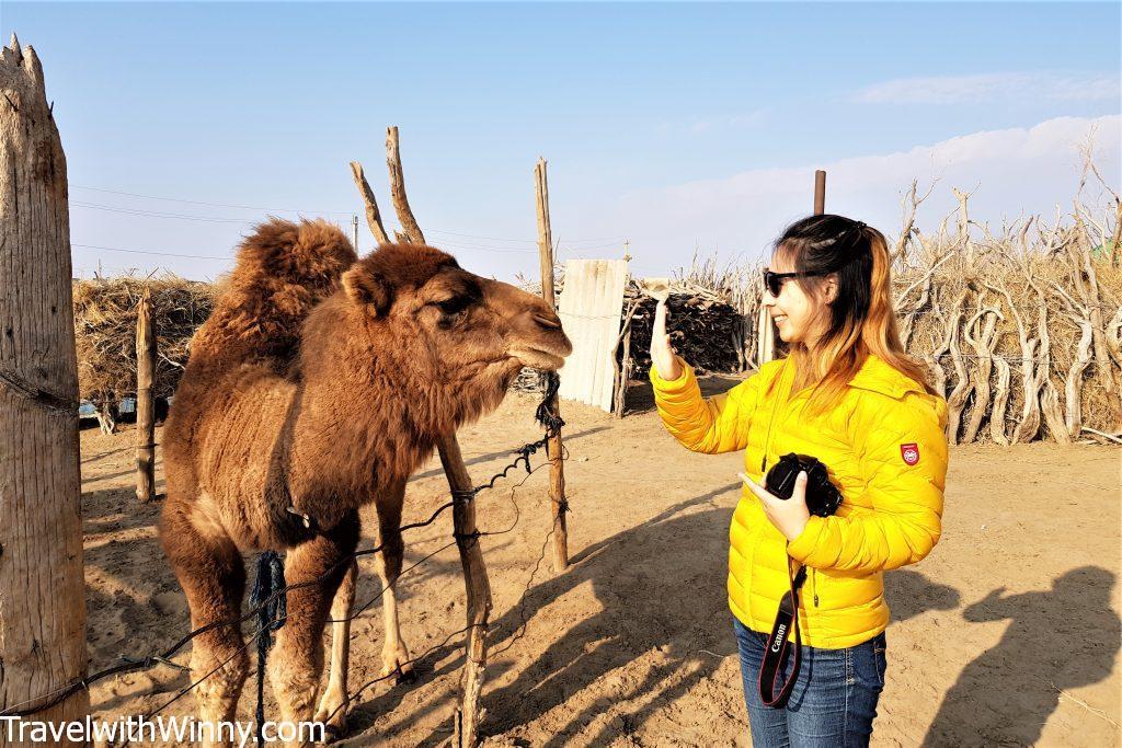 camel desert 土庫曼 駱駝