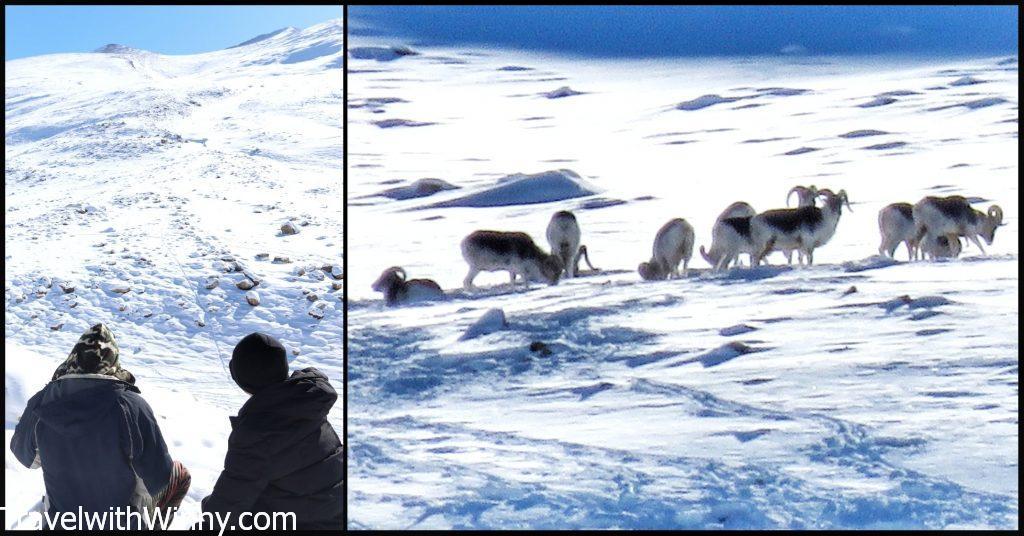 marco polo sheep 馬可波羅羊
