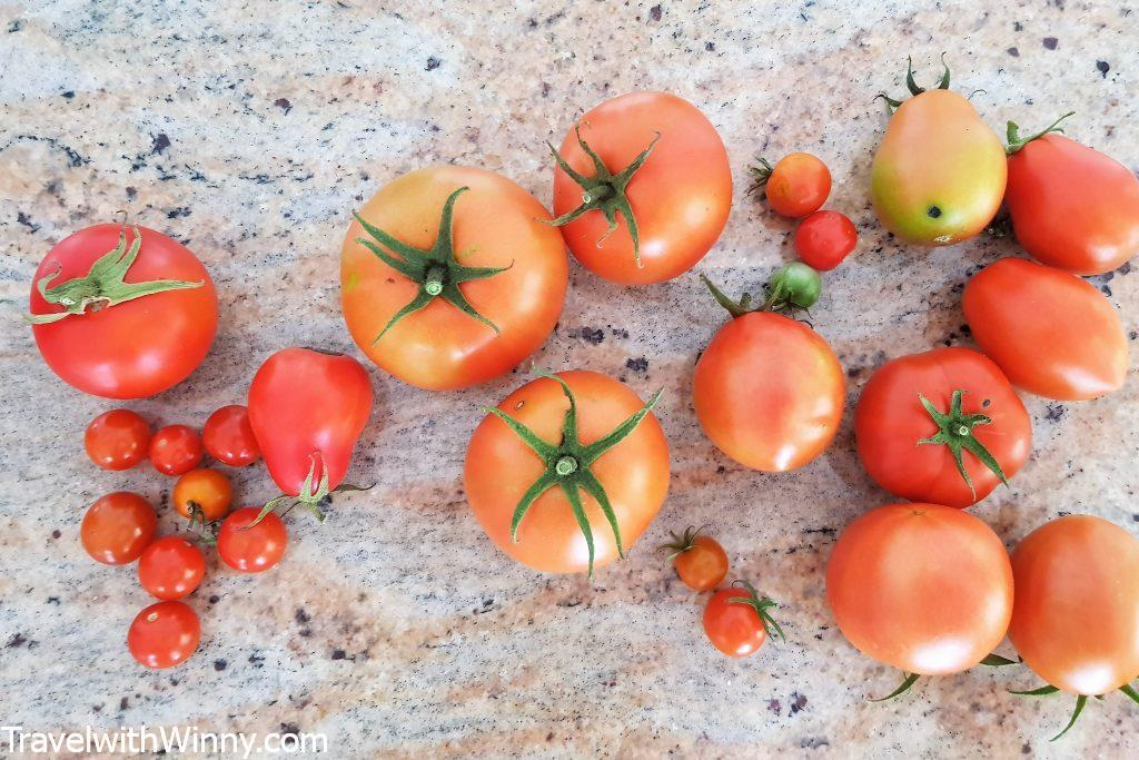 home grown tomatoes 自種番茄