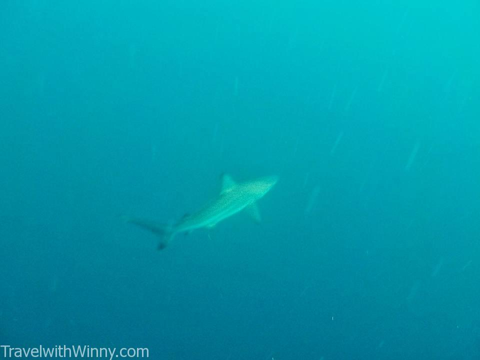 shark diving 鯊魚潛水