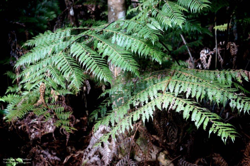 New Zealand Fern 紐西蘭 蕨類