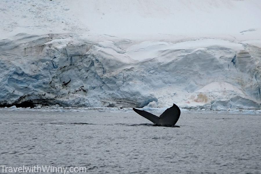 humpback whale 座頭鯨 經魚尾巴