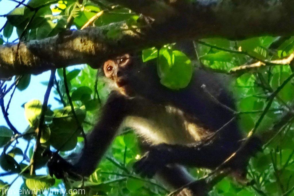 spider monkey 蜘蛛猴
