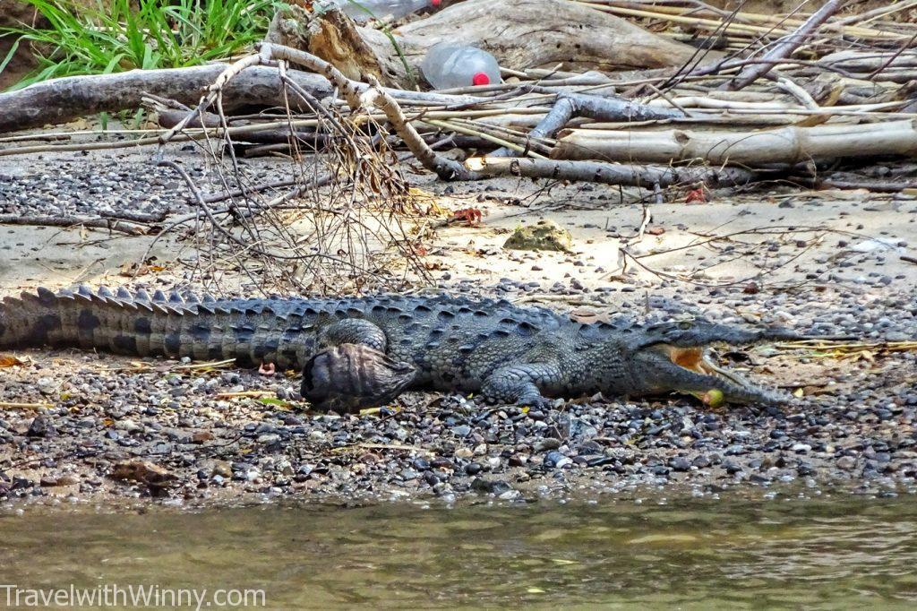 crocodile 鱷魚