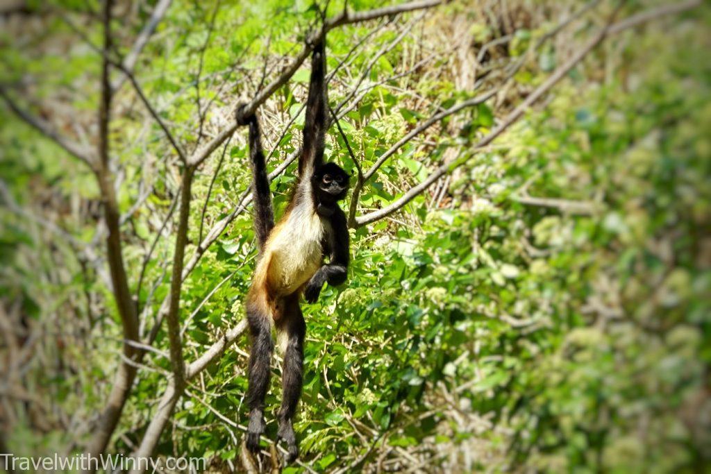 蜘蛛猴 spider monkey