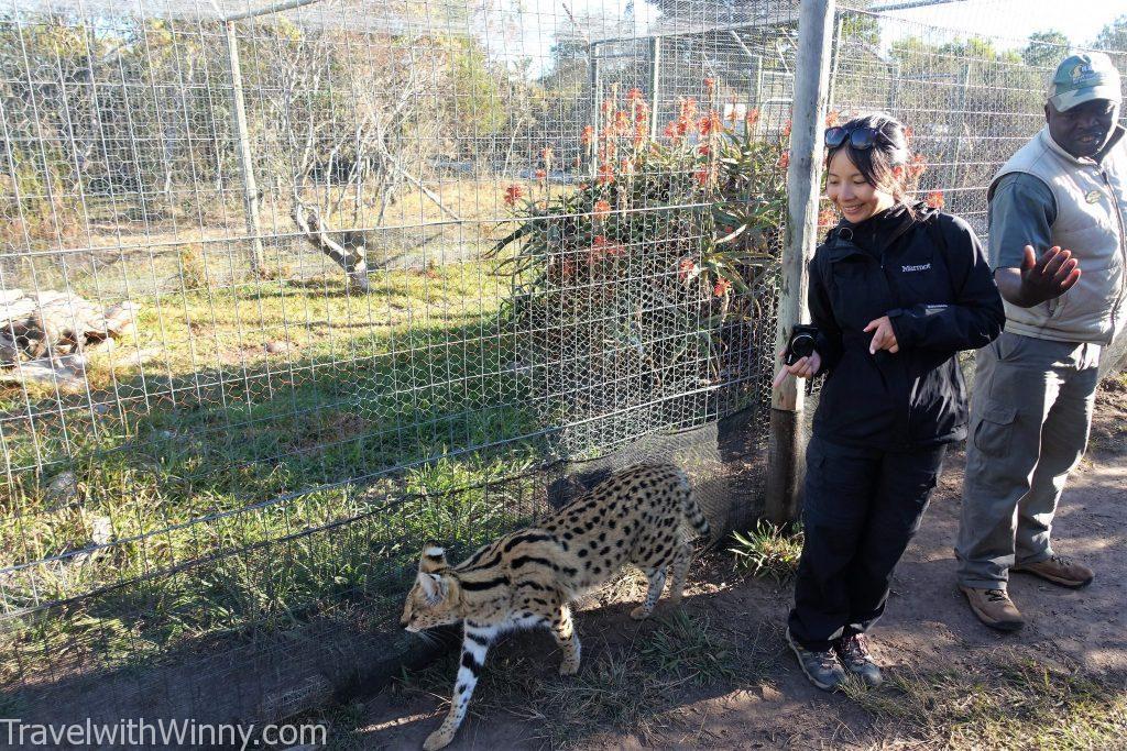 藪貓 Serval