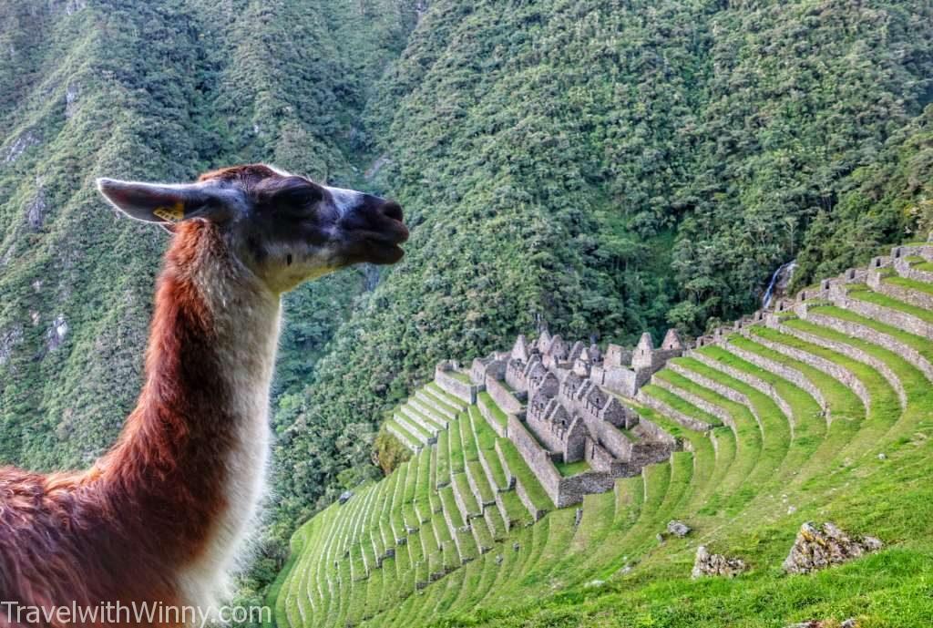 Wiñay wayna inca ruin 印加古蹟 駱馬 alpaca