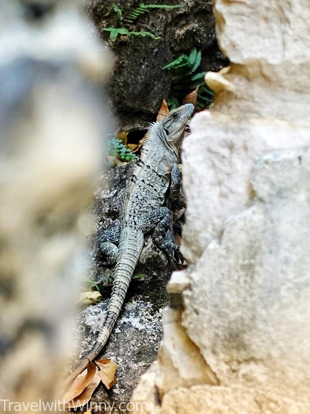陸蜥 蜥蜴 iguana lizard
