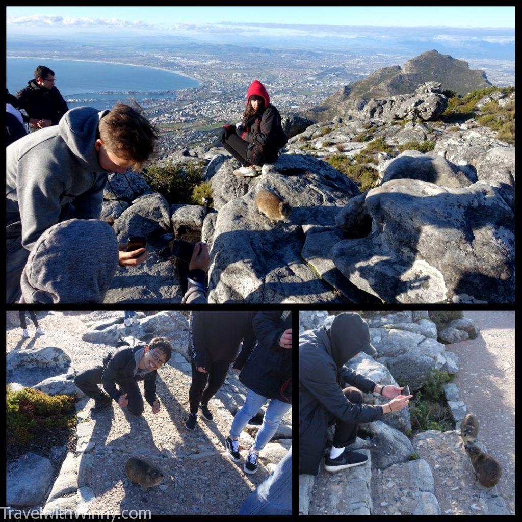 dassi 蹄兔 南非 table mountain 桌山