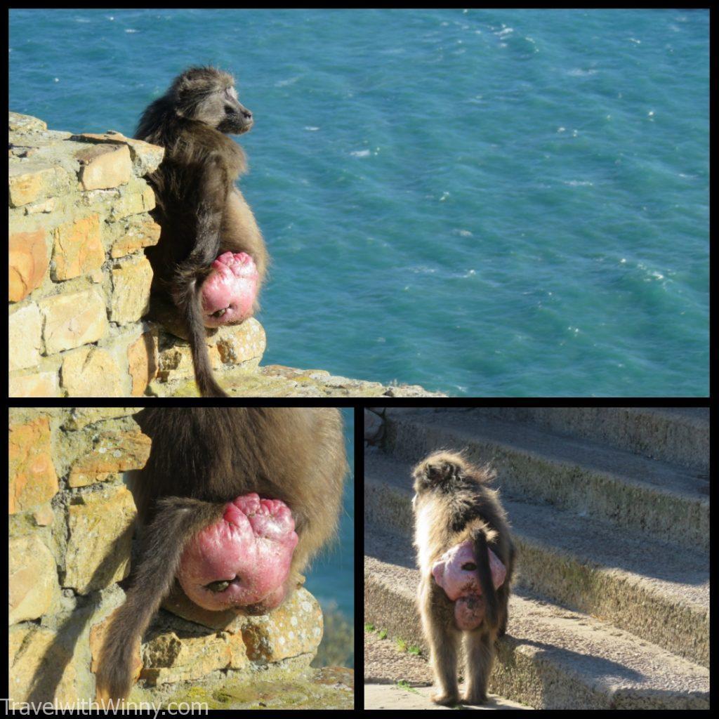 狒狒 baboon