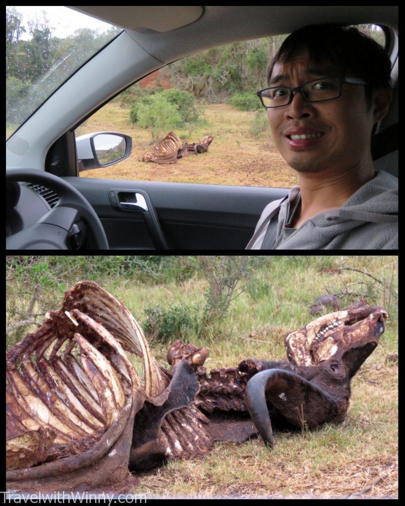 非洲 水牛 AFRICAN BUFFALO BONE 骨頭