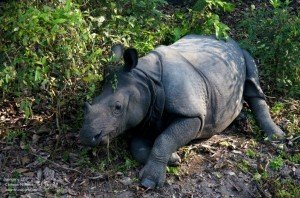 【尼泊爾】 奇旺國家公園: 騎大象近距離看犀牛記